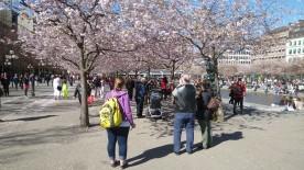 Kungsträdgården a Stoccolma. Cieliegi in fiore